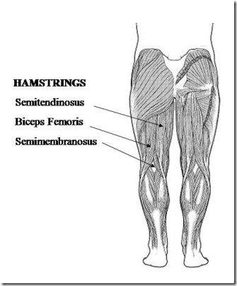 hamstring diagram
