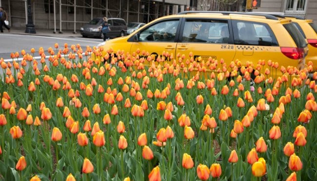 Park Ave Tulips